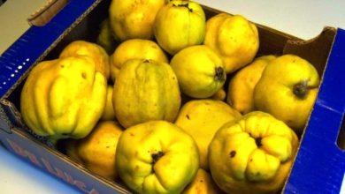 Photo of Cotognata a formette e mele cotte per la salute  Le gustose risorse del frutto che gli ischitani… non capiscono
