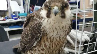 Photo of Ischia, falco pellegrino salvato dalle volontarie