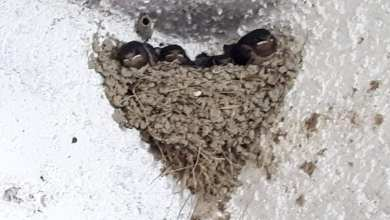 Photo of Rimossi nidi di rondine, la denuncia dei volontari del LAAI