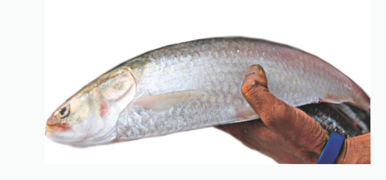 Ilish hilsa fish buy ilish hilsa fish online for Order fish online