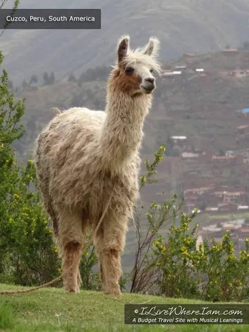Llama - Cuzco, Peru