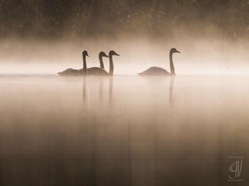 Swans in morning fog