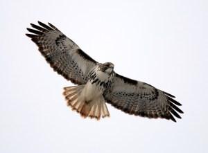 Red-tailed Hawk (Harlan's) by Matthew Winks