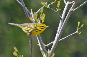 Prairie Warbler by Alan Seelye-James