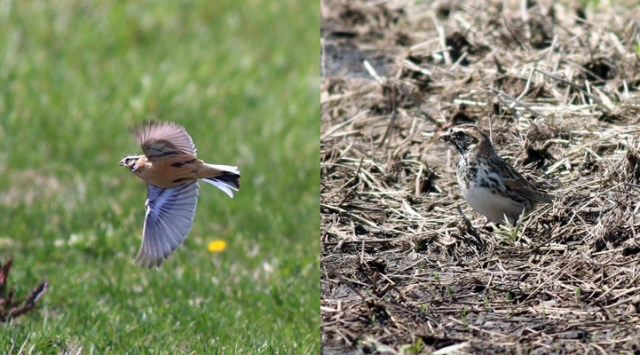 Smith's Longspur (left); Lapland Longspur (right)