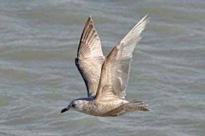 Iceland Gull (Thayer's) by Matthew Cvetas