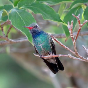 Broad-billed Hummingbird by Pam Stanko