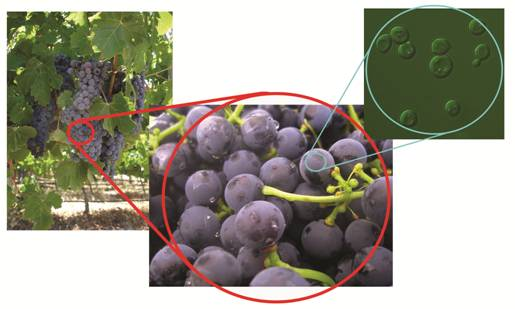yeast powder on wild grapes science of wine