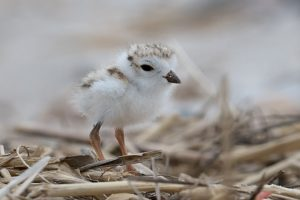piping plovers conservation action