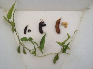Comparison of soybean seeds. On the far left is wild Glycine soja, which has small black seeds. The far right is cultivated Glycine max, which has large yellow seeds. In the middle is a plant that is a hybrid between the two; it is still black-seeded, but the seed is bigger. The plant stem is from Glycine soja; it is very viney, similar in shape to a morning glory.