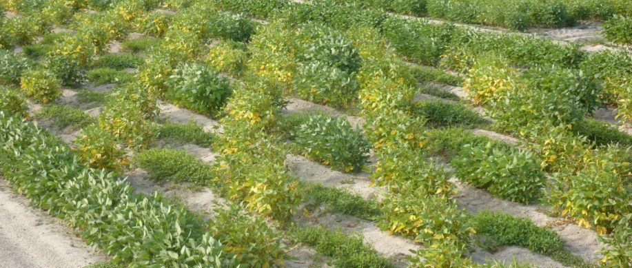 """This is a """"checkerboard"""" soybean field with cultivated Glycine max soybean plants alternating with wild Glycine soja plants. The cultivated crop plants are taller and bushier and the wild relative lies low to the ground and has a weedy appearance."""