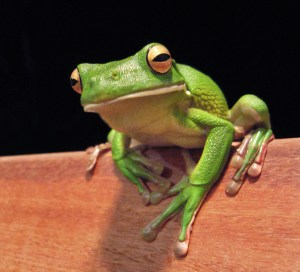 White Lipped Tree Frog leap years
