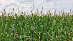 corn crop why does popcorn pop illinois science council blog