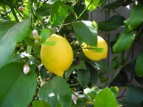 Risultati immagini per immagini foglie di limone