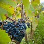 Sicilia prima in Italia per risorse assegnate alla vitivinicoltura