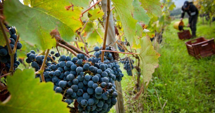 """Consorzio Doc Sicilia: """"80 mln di bottiglie di vino prodotte nel 2018"""""""
