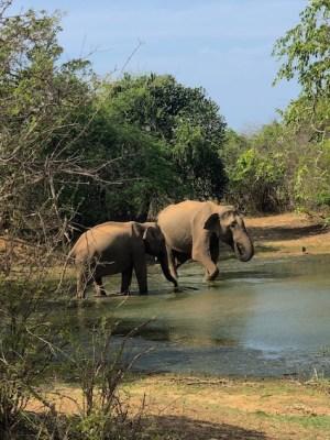 Sri lanka - elefanti