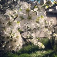 Un albero di prugne in fiore