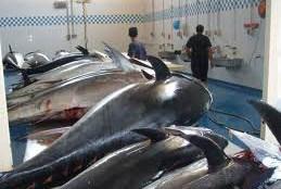 Sequestrati quattrocento chili di tonno rosso