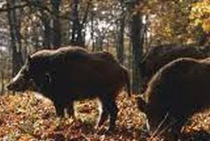 Scioperano i cacciatori vastesi, in arrivo selecontrollori da fuori regione?