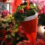 edera natalizia