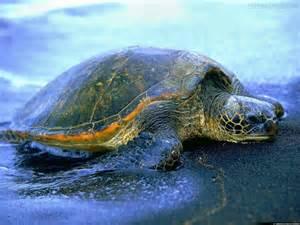 Tartaruga trovata morta sul litorale