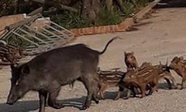 Cane aggredito dai cinghiali a Punta Aderci