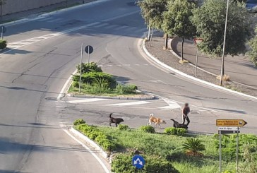 La rotatoria di S.Onofrio ancora ostaggio di cani randagi. Stamane alle 7,30 un ciclista è stato aggredito. Residenti in rivolta
