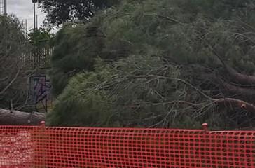 Taglio dei pini, dopo le proteste il regolamento