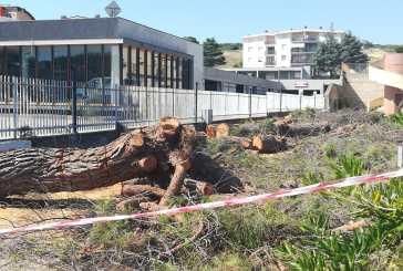 """Abbattuti altri cinque pini, Taglioli: """"Succede perché manca il regolamento del verde"""""""