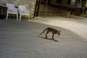 Scende ogni notte dalla montagna, un paesino del Molise adotta la volpe che ogni sera va al bar