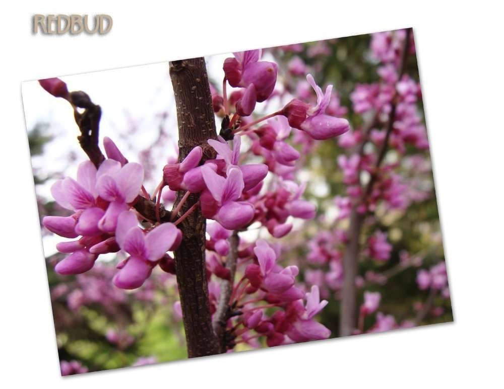 Country Kitchen Red Bud Il Part - 40: Redbud Tree, The Understory
