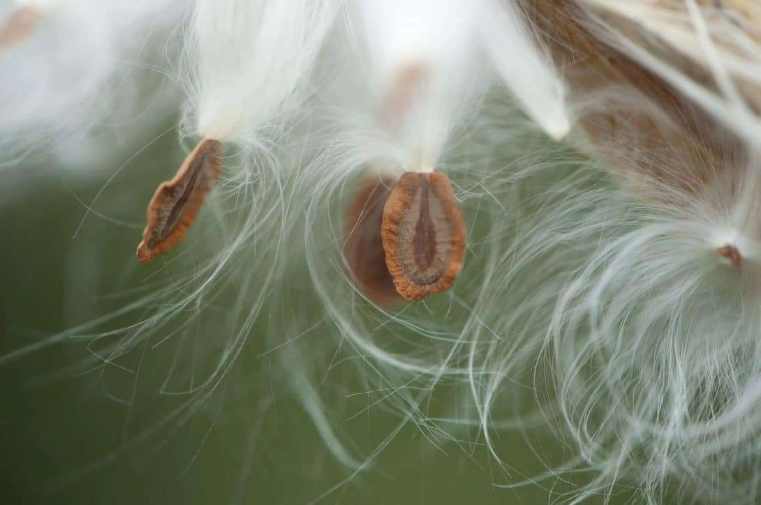 Milkweed Makes Mainstream