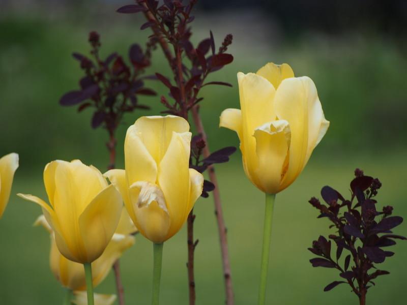 tulipány žluté