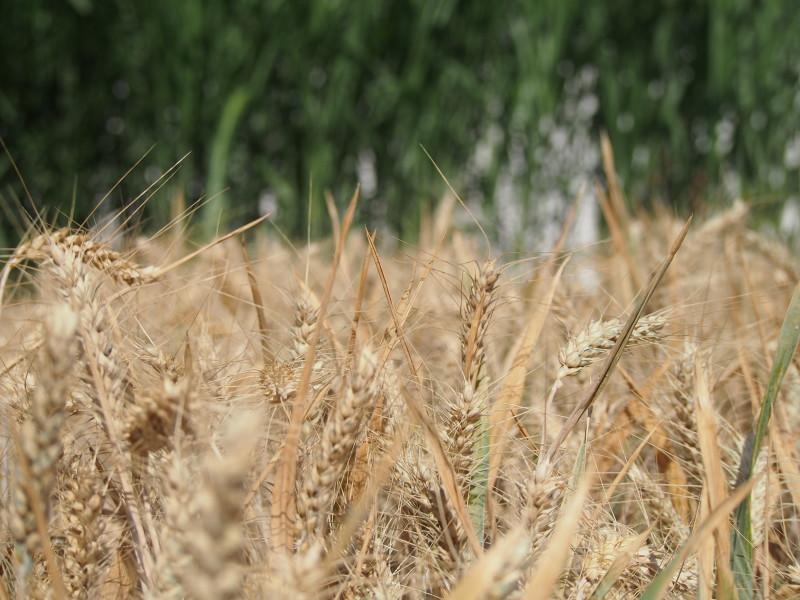 pole s obilím