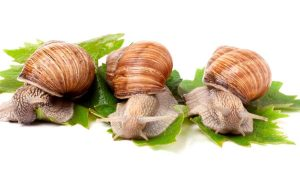 Snail and their snail mucus excellent for our cosmetics.