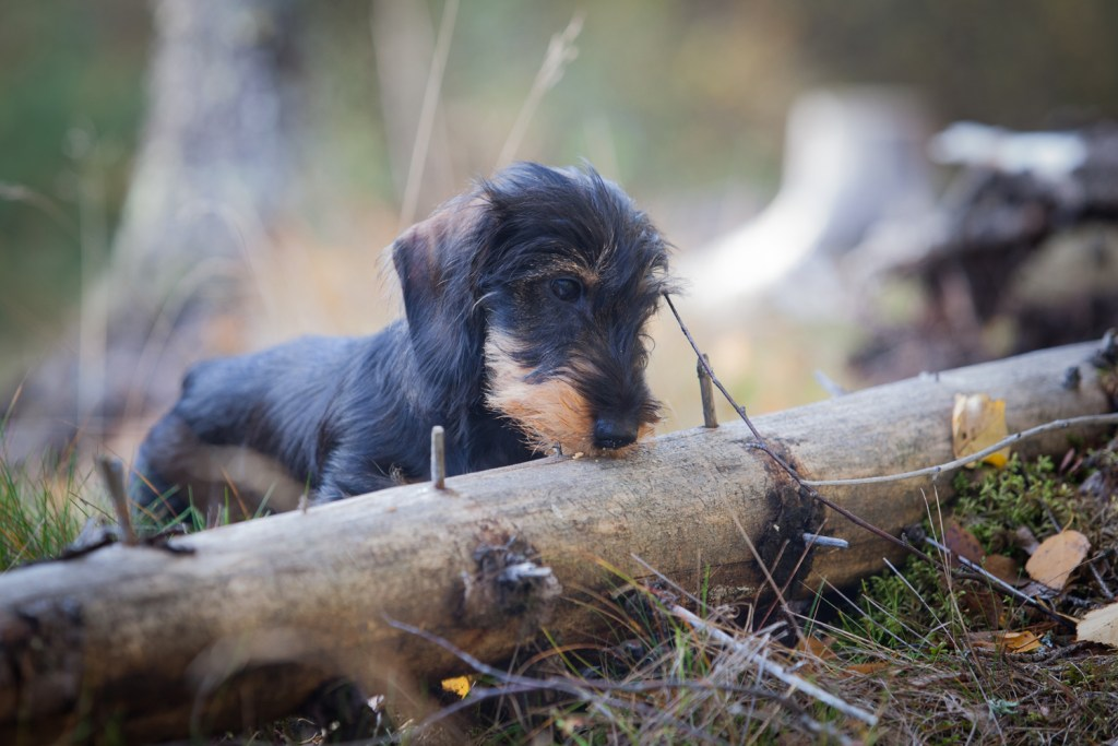 What are the dachshund traits? Dachshund digging by a tree log