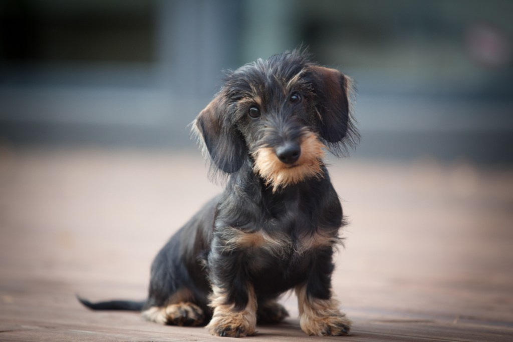 Wire-haired dachshund puppy sat on the floor doing potty training