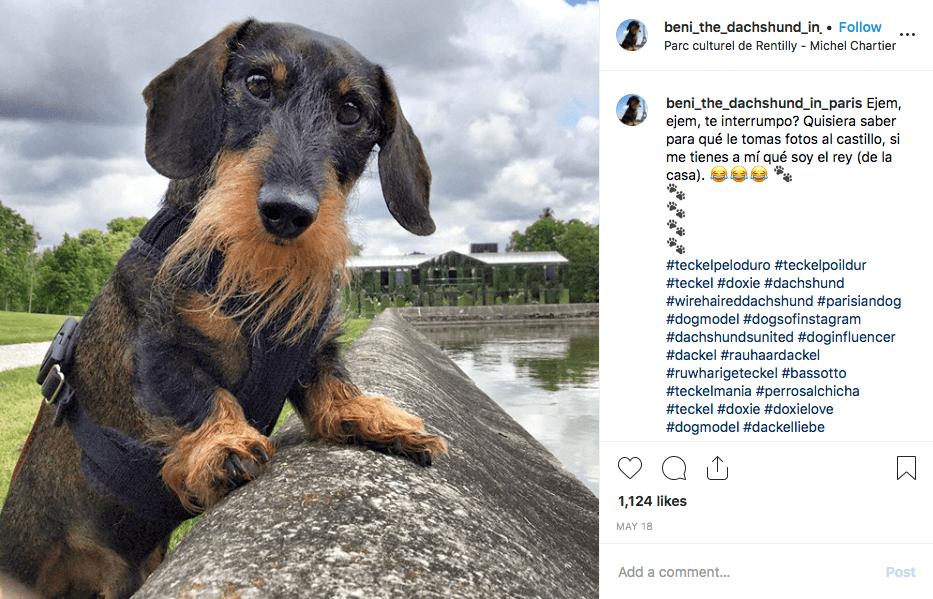 Instagram screenshot of dachshund @beni_the_dachshund_in_paris