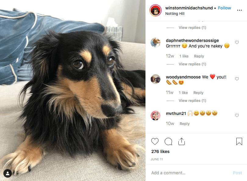 Dachshund instagram screenshot of dachshund @winstonminidachshund
