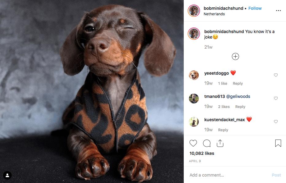 Instagram screenshot of dachshund @bobminidachshund