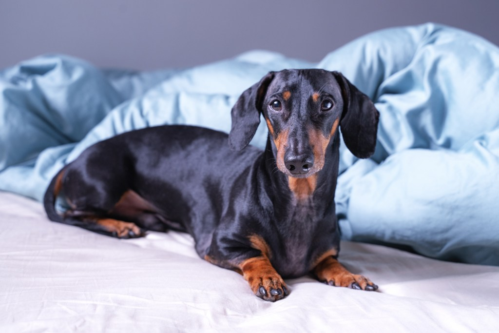 Dachshund with separation anxiety laying on the bed on his own
