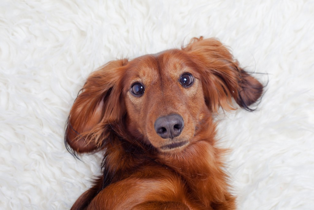 Dachshund laying on his back on the floor looking forwards