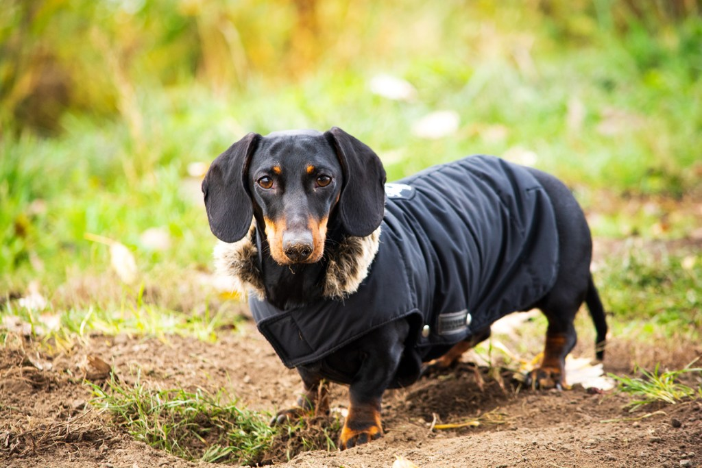 Do dachshunds need coats?Dachshund wearing a coat on a walk