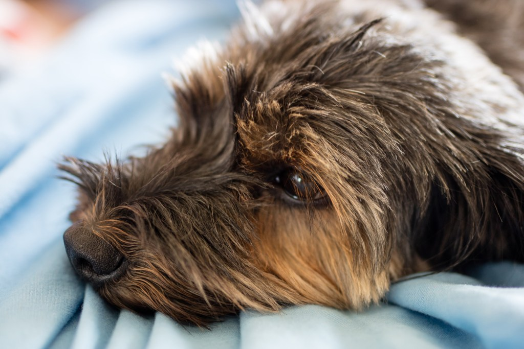 How do I stop my dachshund shedding? Close up of wire-haired dachshunds furry head