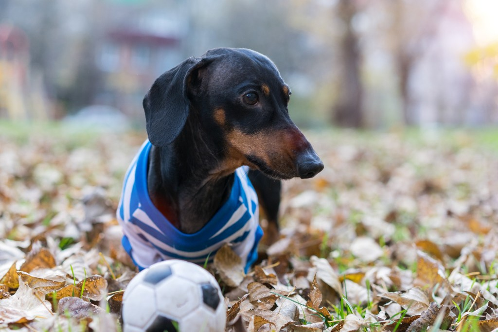 Dachshund walking in the woods with a ball