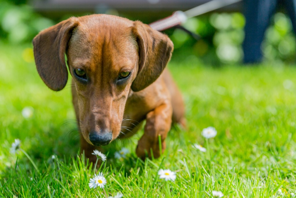 Dachshund outside in the garden sniffing the grass
