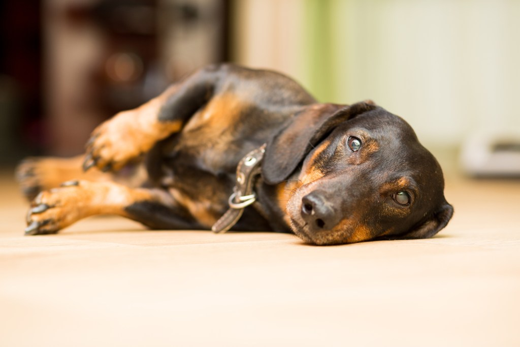 Dachshund with a bad back laying on his side on the floor