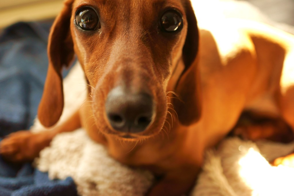 Close up of a dachshund looking sad with a painful back