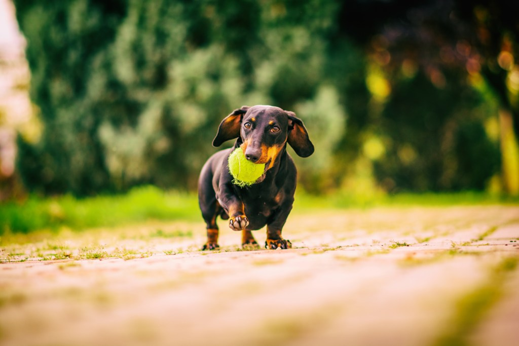 Dachshund out for a walk with a ball in his mouth